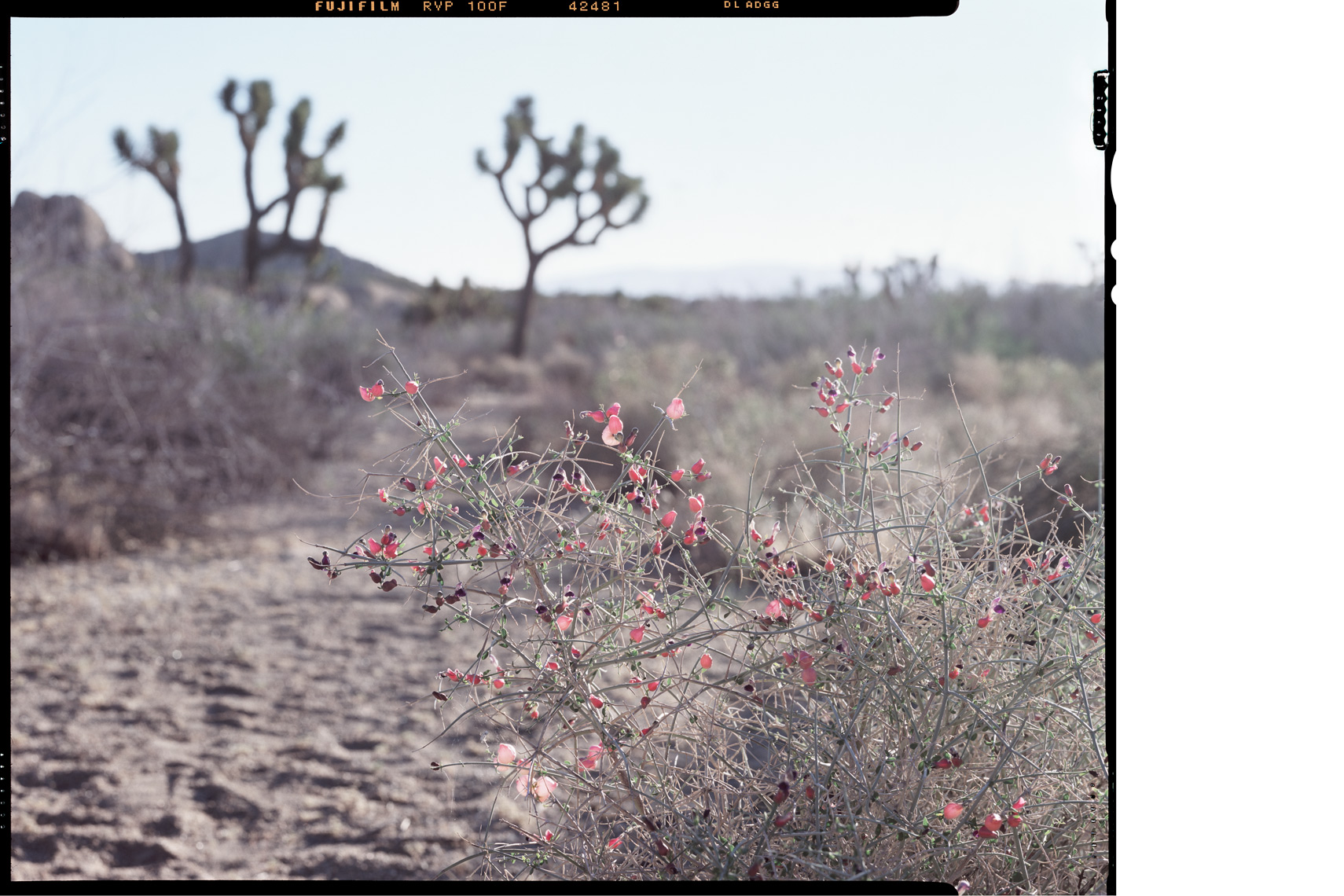 4x5_JoshuaTree_Sunrise_WEB.jpg